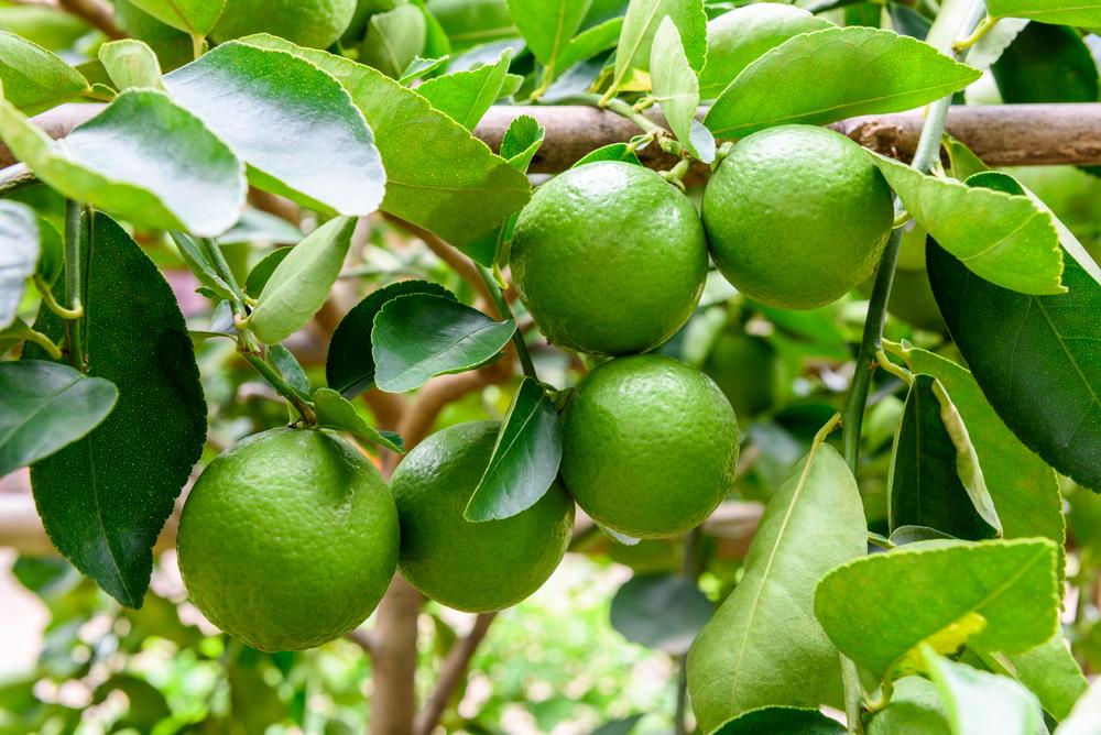 Health Benefits Lime
